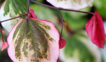 Carolina Sweetheart wint persprijs op Plantarium